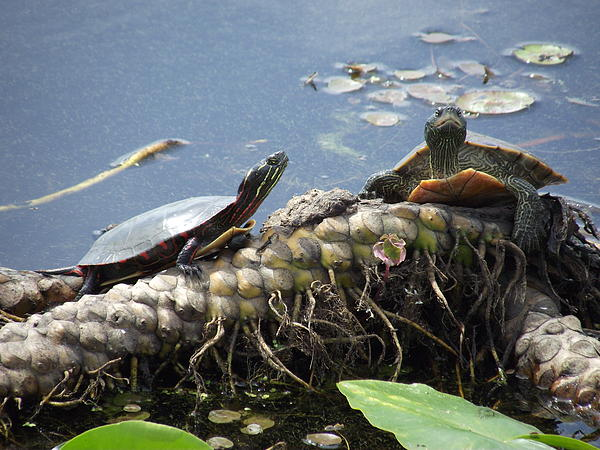 Jenny Katsaris - Painted Turtles Among the Lily Pods