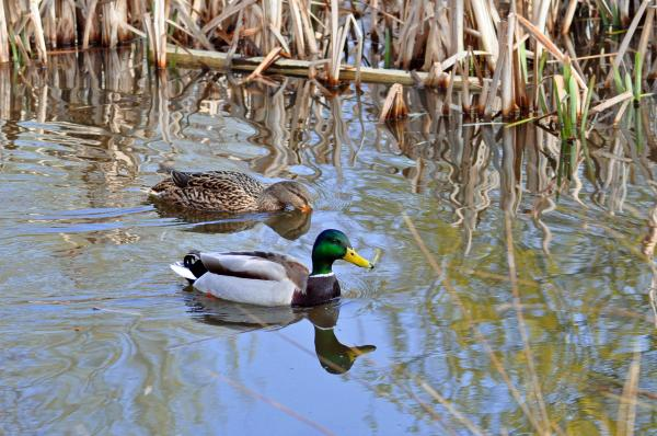 Pair Of Mallard Ducks Photograph