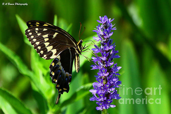 Palamedes Swallowtail Butterfly Print by Barbara Bowen