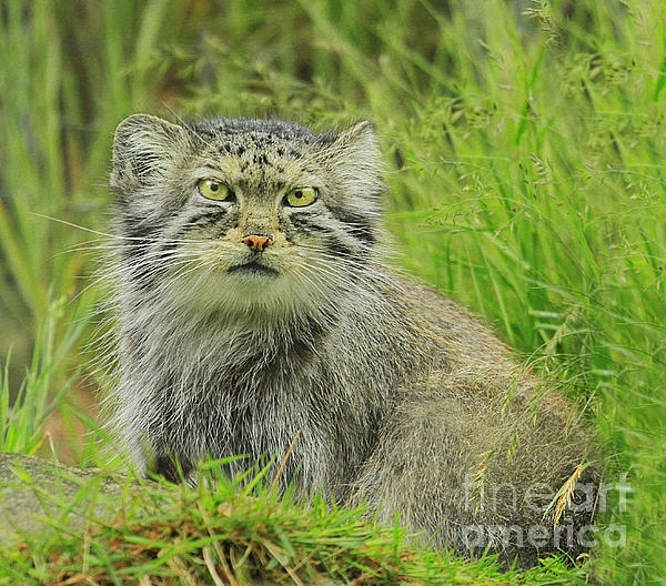 Roy  McPeak - Pallas cat