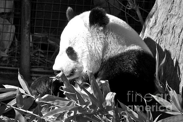 Panda Baby Print by Carol  Bradley
