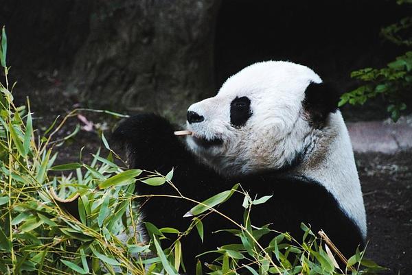 Anthony Citro - Panda Bear