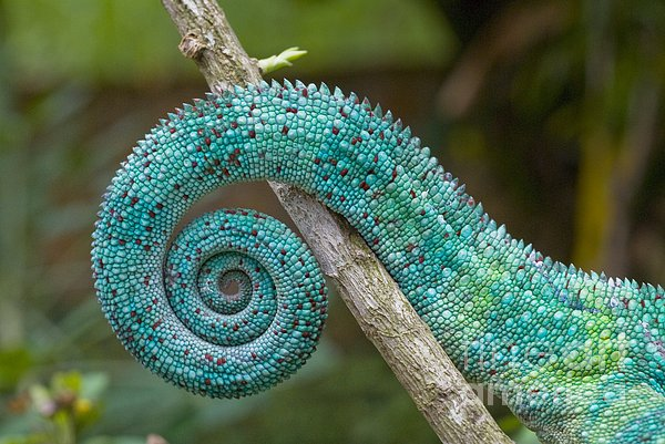 Panther Chameleon Tail Print by Philippe Psaila and Photo Researchers