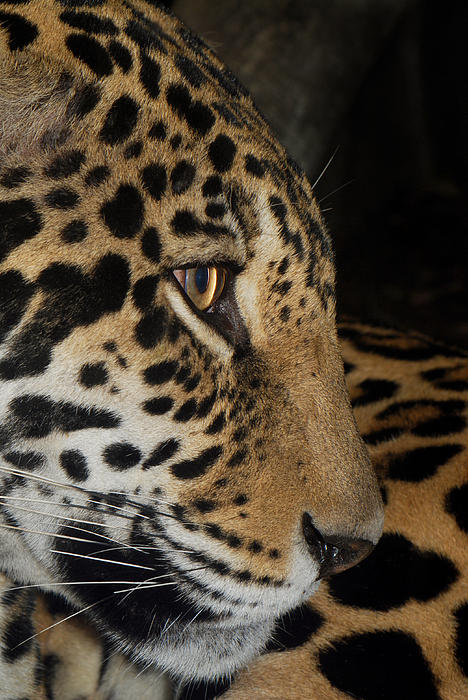 Panthera Onca In Profile Print by Sym