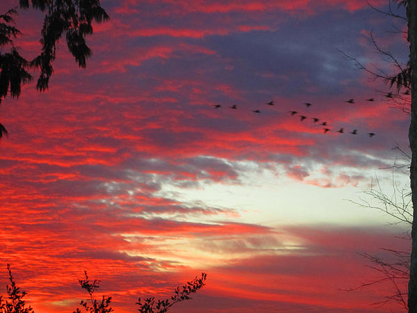 Papaya Colored Sunset With Geese Print by Kym Backland