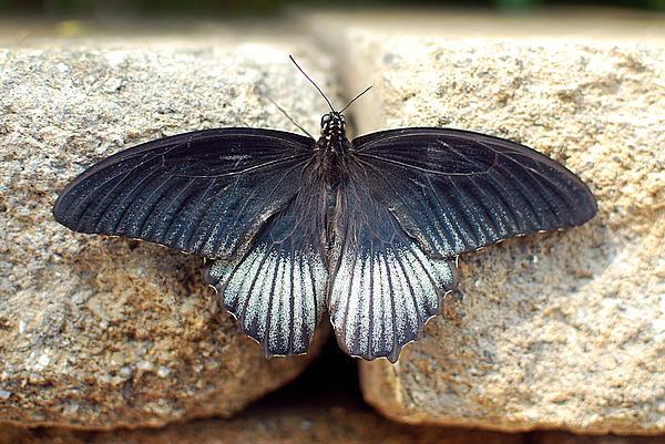 Floyd Menezes - Papilio lowii
