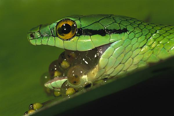 Parrot Snake Eating Tree Frog Eggs Print by Christian Ziegler