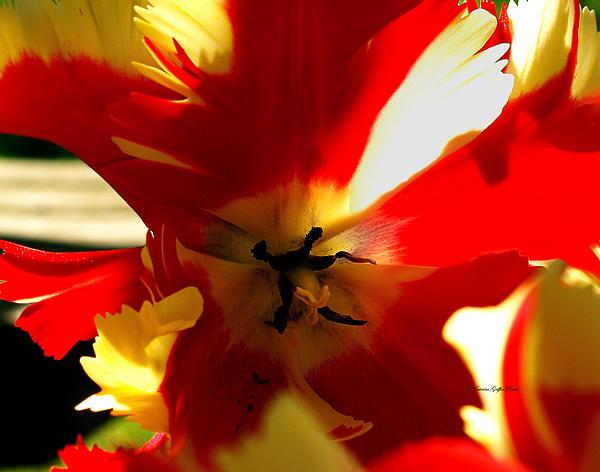 Patricia Griffin Brett - Parrot Tulip I