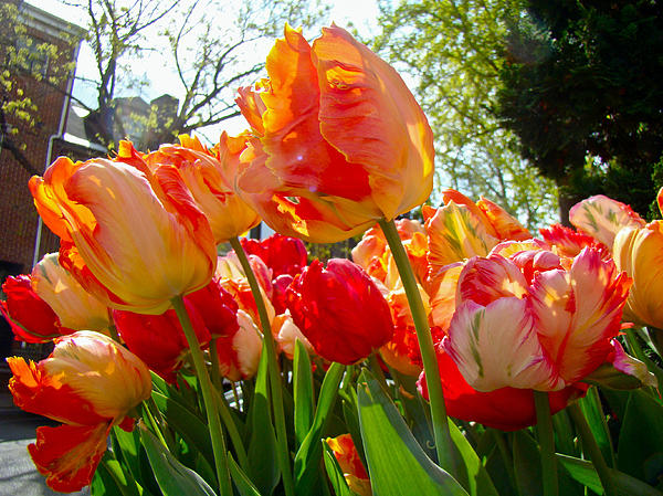 Parrot Tulips In Philadelphia Print by Mother Nature