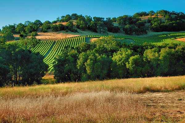 Paso Robles Vineyard Print by Steven Ainsworth