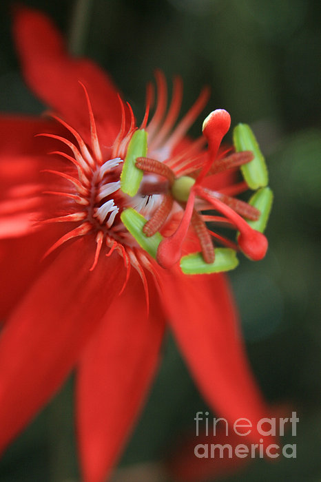 Passiflora Vitifolia Scarlet Red Passion Flower Print by Sharon Mau