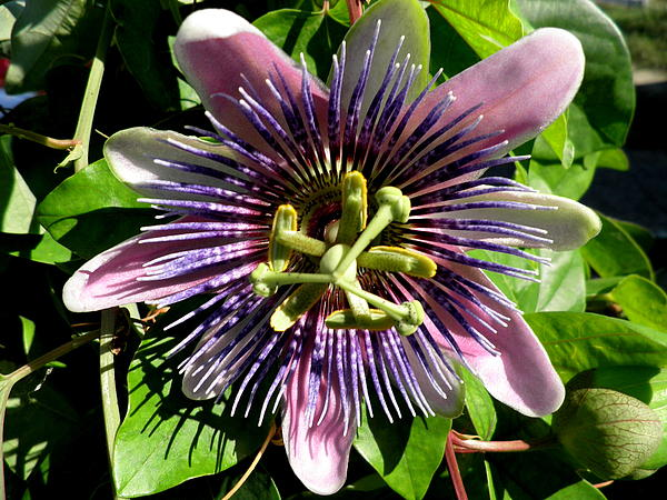 Kate Gallagher - Passion Flower