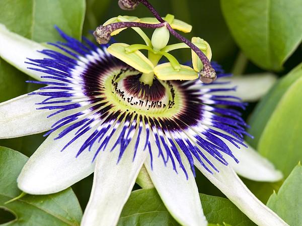 Passion Flower (passiflora Caerulea) Print by Adrian Bicker