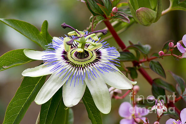 Passion Flower Print by Teresa Zieba
