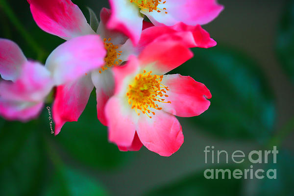 Pasture Roses  Print by Cheryl Young
