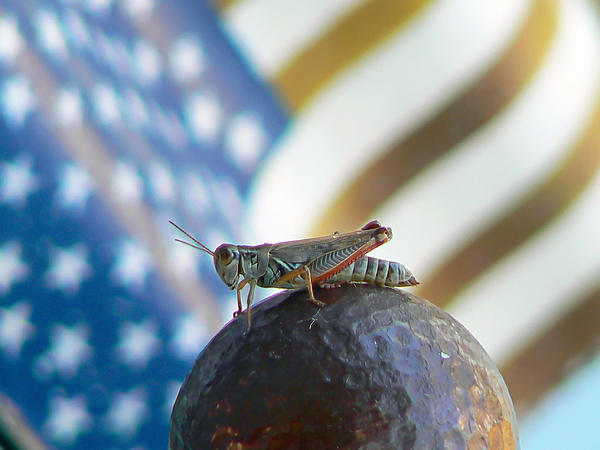 Pamela Patch - Patriotic Grasshopper