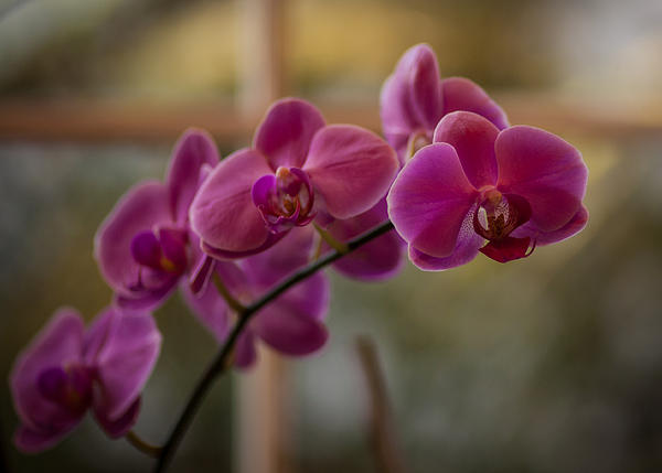 Peaceful Orchids Print by Mike Reid