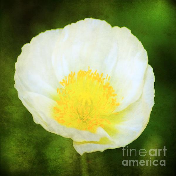 Darren Fisher - Peaceful Poppy