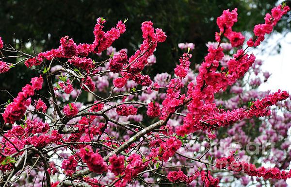 Peach Blossom Print by Kaye Menner