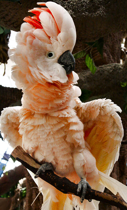 Sally Bauer - Peach Cockatoo
