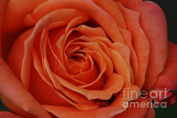 Peach Rose Close-Up Photograph