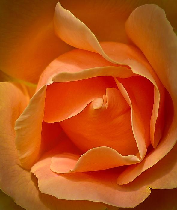 Ronda Broatch - Peach Rose