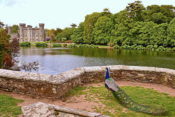Martina Fagan - Peacock at Johnstown Castle