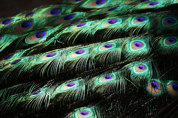 Peacock Feathers Print by Paulette Thomas