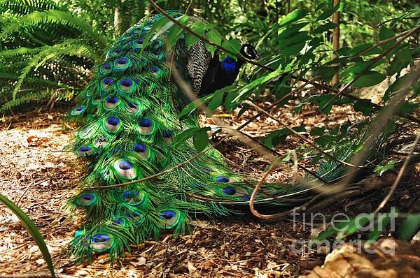 Peacock Hiding Print by Kaye Menner
