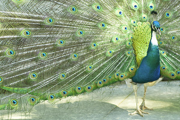 Peacock Print by Pit Hermann