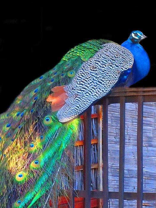 Vijay Sharon Govender - Peacock Poses