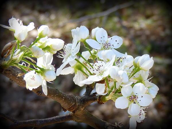 Carla Parris - Pear Blossoms