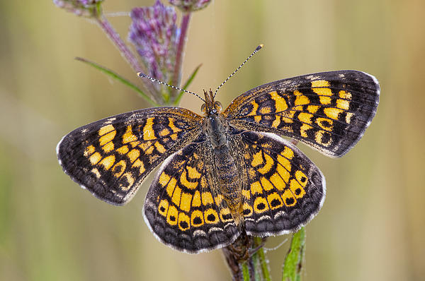 Pearl Crescent Butterfly On Wildflowers Print by Bonnie Barry