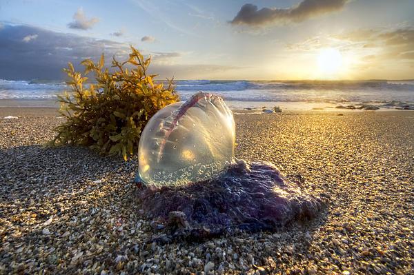 Pearl Of The Sea Print by Debra and Dave Vanderlaan