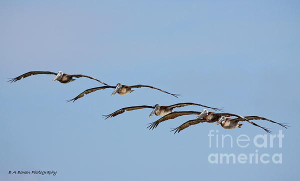 Pelican Crew In Flight Print by Barbara Bowen