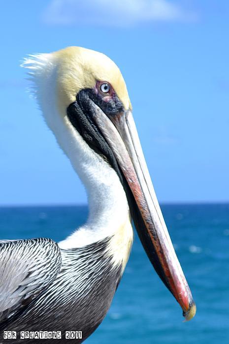 Pelican Print by Fern Korn
