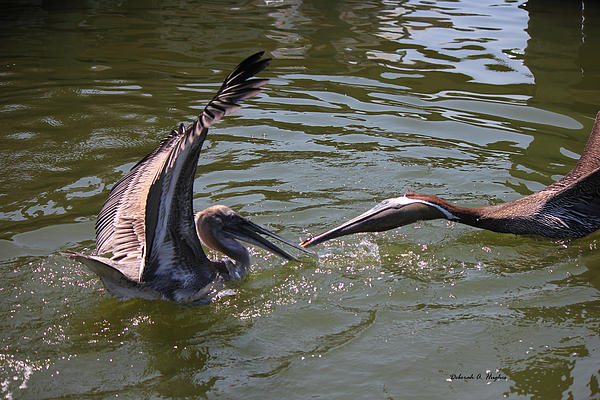 Deborah Hughes - Pelican Fight