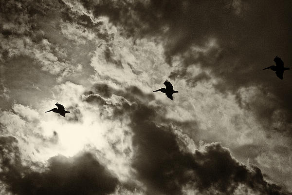 Roger Wedegis - Pelican Fly By