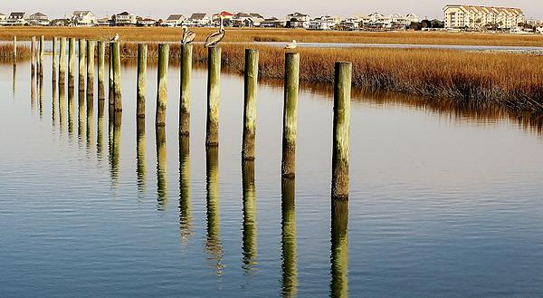 Pelican On Posts Print by Paulette Thomas