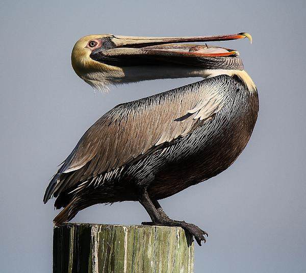 Pelican Perching Print by Paulette Thomas