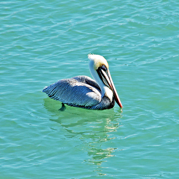 Aimee L Maher Photography and Art - Pelican Portrait