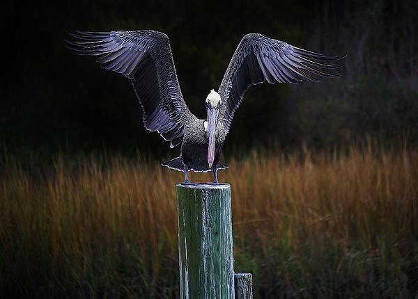 Pelican Wings Print by Paulette Thomas