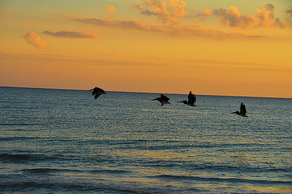 Pelicans At Sunset Print by Ron Mroski