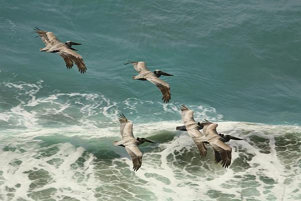 Pelicans In Flight Over Surf Print by Gregory Scott