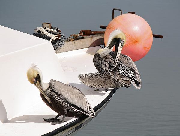 Pelicans Print by Paulette Thomas