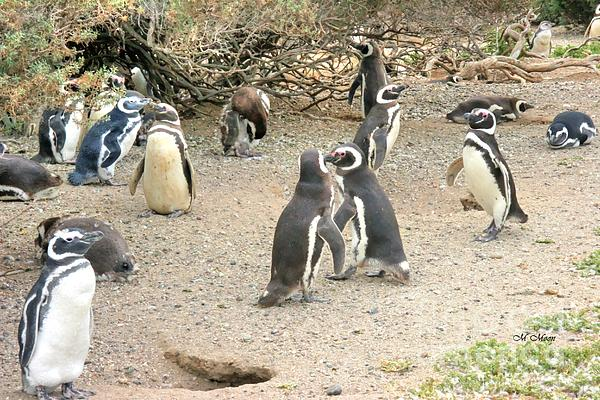 Marcia Fontes Photography - Penguin Colony