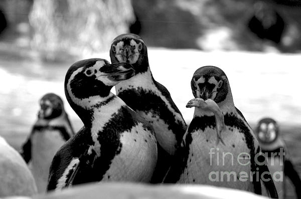 Penguins Print by Pravine Chester