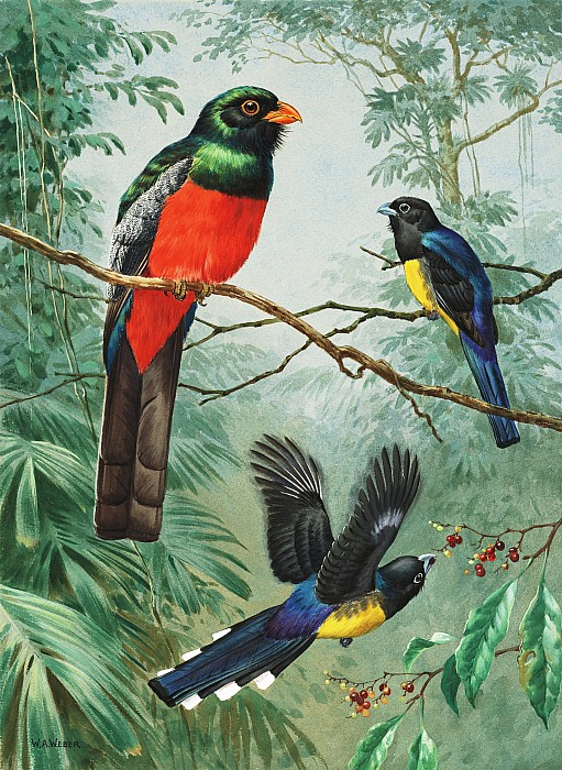 Perched And Flying Trogons Are Seen Print by Walter A. Weber