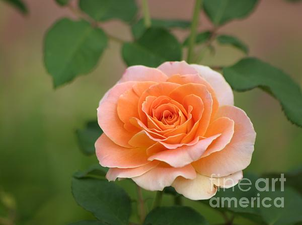 Perfect Peach Petals Print by Living Color Photography Lorraine Lynch