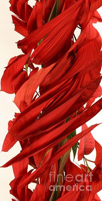 Peripheral Streak Image Of A Poinsettia Print by Ted Kinsman